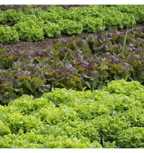 CHOLETAISE Salade B12 Batavia