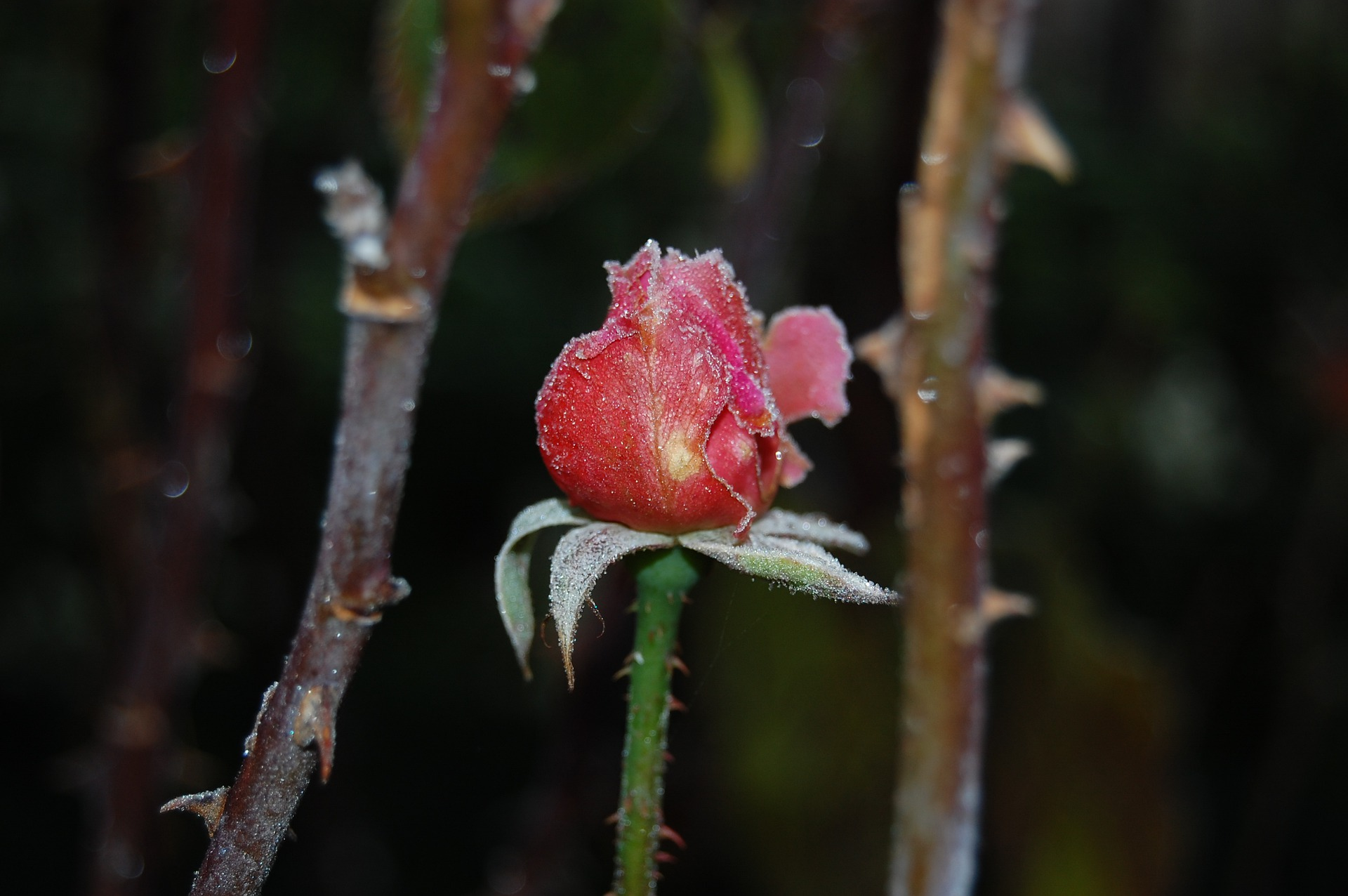 rosier.jpg