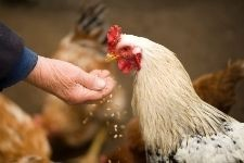 Avoir des poules dans son jardin Lysadis